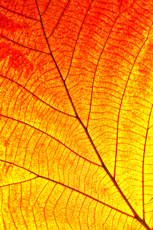 autumn background: Close up of colorful autumnal maple leaf