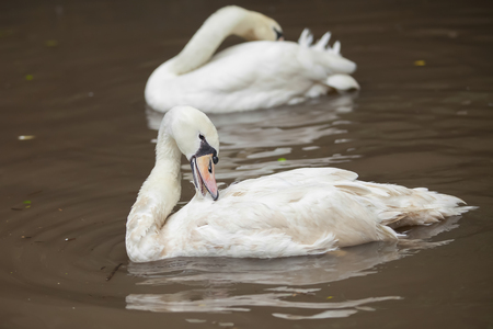 White geese on the water. photo