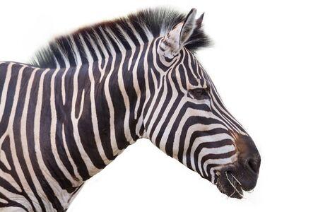 zebra: Zebra sobre un fondo blanco