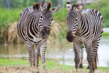 Two zebra was eating grass photo