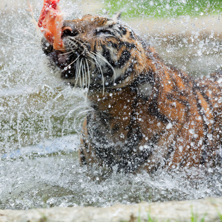 gaze: Eating tiger in the water during the day.
