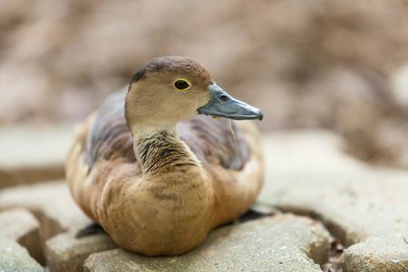 Canard sont relaxants sur le front de mer.