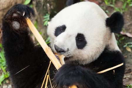 Panda dort, manger du bambou Banque d'images