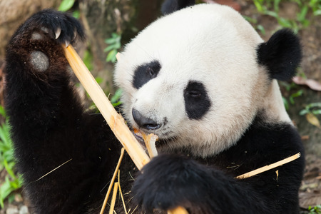 Panda is sleeping, eating bamboo Stock Photo