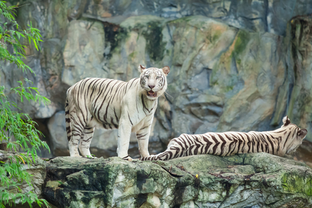 Two white tigers in the wild.