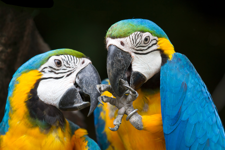 Two parrot yellow and blue feather mating with love kiss. 写真素材