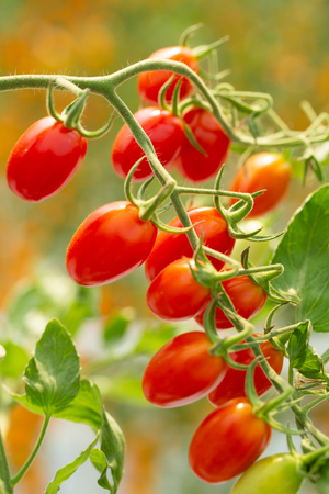 Red cherry tomatoes in plant organic agriculture garden. 写真素材