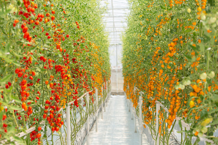 Red and yellow cherry tomatoes in plant organic agriculture garden.