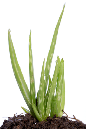 Aloe isolated on white background 写真素材