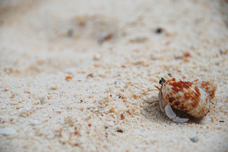 hermit crab: Big Orange Hermit Crab in his Shell closeup on sand background