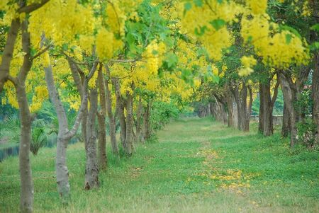 shady: blur of bower golden shower tree in the public park with full of yellow blooming and shady for relaxation