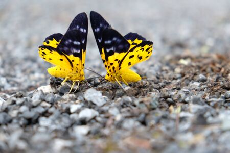 Two butterflies with a yellow and black wing, which are perched on the gravel in the confront. Stock Photo