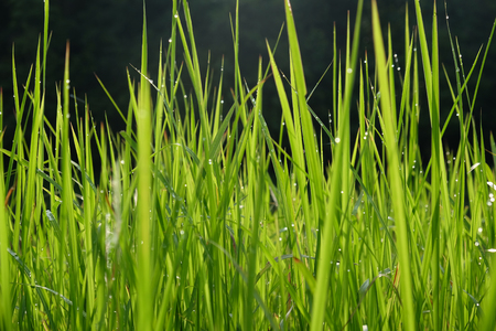 The fresh green of the grass, dew and sunlight reflecting in the morning. Stock Photo