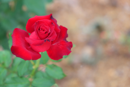 The red roses are blooming on green leaves and a brown blurred background. Stock Photo