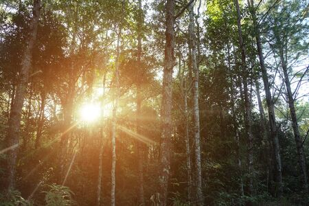 Trees in the forest with sunlight shining through. Stock Photo