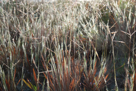 The grass is dry and brown have a dew and reflecting from sunlight in the morning.