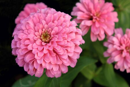 Closeup of Zinnia, light pink. There are many layers of petals. It's looking fresh and beautiful.