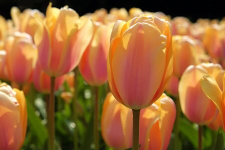 Beautiful Yellow and orange mixed tulips in the sun light. It close up view and blur background from garden in the Netherlands.