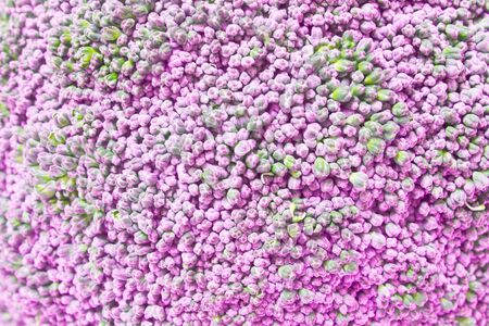 abstract art vegetables: pink broccoli background, broccoli Incorrect color Stock Photo