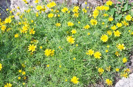 cosmos flower: Yellow cosmos flower