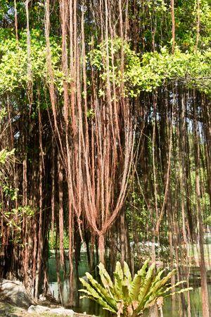 banyan: banyan Stock Photo