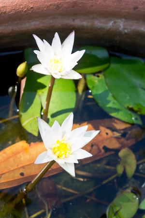 white lotus: white lotus flower Stock Photo