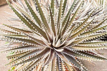 dyckia: dyckia plant