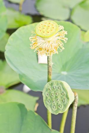graine lotus: graines de lotus, lotus gaine