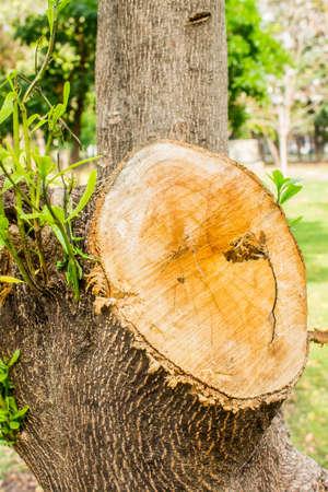 tree stump: Cut tree in the garden, Tree stump