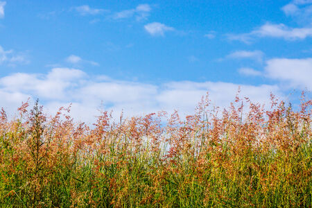 red grass: red grass flower on blue sky scene,Chiangrai,Thailand Stock Photo
