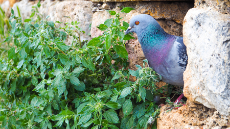 Pigeon hides in the gap of rock Imagens