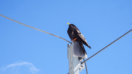Black Bird stands on the cable pole