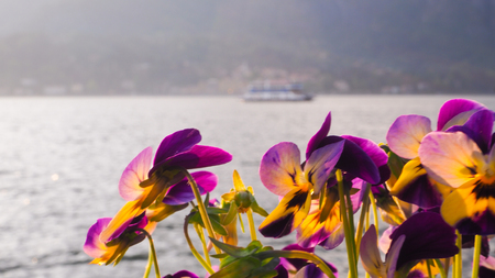 Orchid at Bellagio park with ferry in Lake como background Imagens