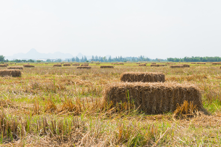 Rice straw in the field with blue sky background Imagens