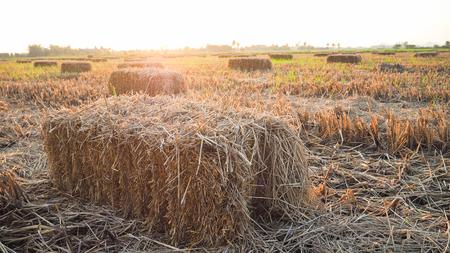 タイの分野で稲わら 写真素材