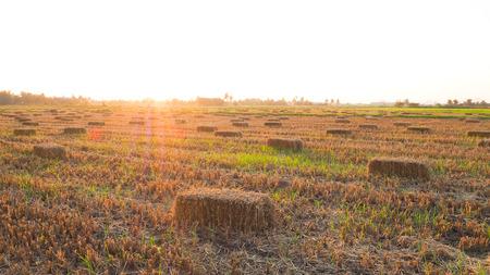 タイのフィールドで稲わら