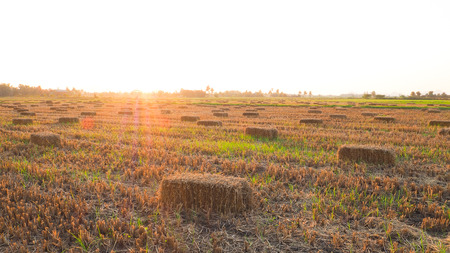 Rice straw at the field in Thailand Imagens