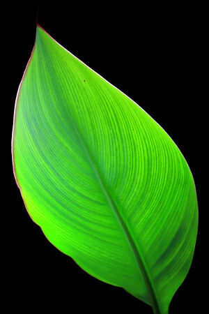 Green canna leaf photo