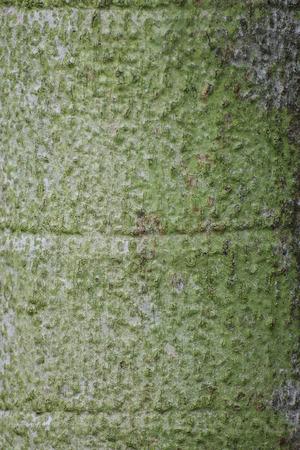 acuminate: The bark of  Carpentaria palm for background