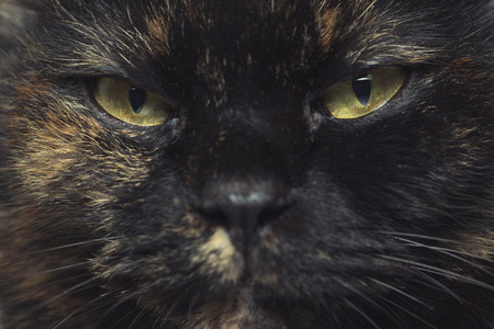 catlike: Close-up portrait of Thai cat with yellow eyes