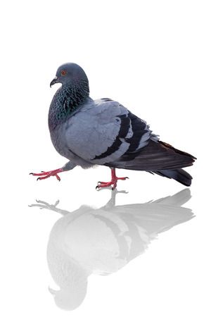 Thai pigeon walking. The pigeon with reflex isolated on white