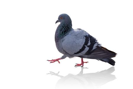 reflex: Thai pigeon walking. The pigeon with reflex isolated on white