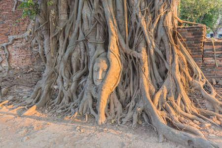 cabeza de buda: Estatua Cabeza de Buda en Banyan Tree, Tailandia Foto de archivo
