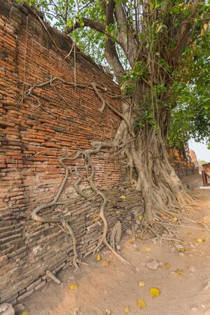 adhere: Crack brick wall covered by aged root in Wat Mahathat of Ayutthaya, Thailand Stock Photo