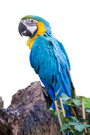 The blue-throated macaw, Colorful macaws perched on a fence look at camera on white background 写真素材