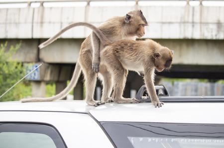 Monkeys sit on roof car. Stock Photo