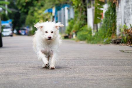 The Little white dog running on the streeet,dog is coming, bokeh and blur background.