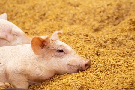 Two pigs sleep on the golden husk. In an organic farm