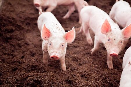 Piglets are playing in rural organic farms. Agriculture, livestock industry Stock Photo