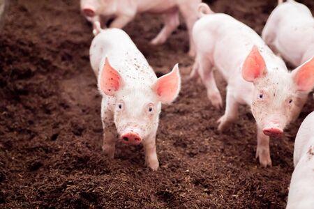 Prosięta bawią się w wiejskich gospodarstwach ekologicznych. Rolnictwo, przemysł hodowlany Zdjęcie Seryjne